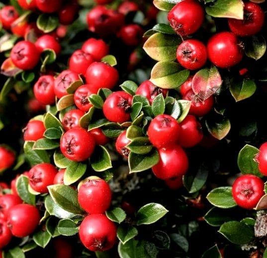 Cranberry Cotoneaster is compact shrub widely loved and planted as a beautiful low lying groundcover. It has very pretty pink flower buds