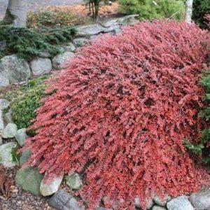 cotoneaster apiculatus cranberry cotoneaster red leaves fall 300x300 - Cotoneaster apiculatus