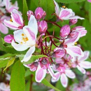 deutzia x rosea nikko blush pink flower dwarf shrub 300x300 - Deutzia x rosea 'Nikko Blush'