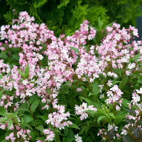 Pink flowered Deutzia is a springtime burst of soft pink flowers with a light fragrance that will turn burgundy in the fall.Prune to rejuvenate!