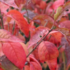 euonymus europaeus red cascade spindle tree fall 300x300 - Euonymus europaeus 'Red cascade'