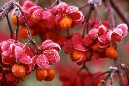 euonymus red cascade 1 - Euonymus europaeus 'Red cascade'