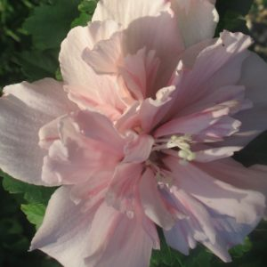hibiscus syriacus blushing bride double pink 300x300 - Hibiscus syriacus 'Blushing Bride'