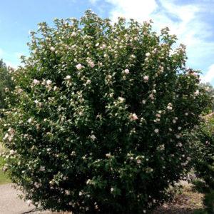 hibiscus syriacus blushing bride rose of sharon 300x300 - Hibiscus syriacus 'Blushing Bride'