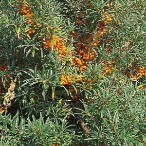 Askola female sea buckthorn requires the male species (Hippophae rhamnoides 'Pollmix') nearby to produce fruit. Typical orchards have 1 male for