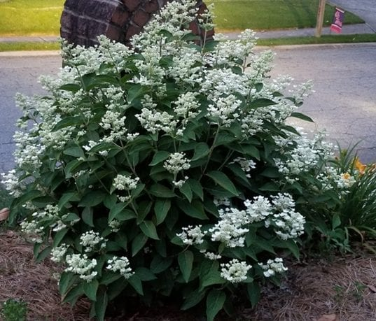 Thus small Pee Gee Hydrangea is extremely compact and is a great addition to any small  garden. Panicles carry several clusters of fertile flowers