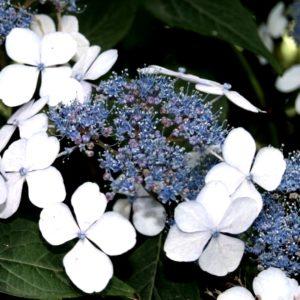 hydrangea serrata bluebird blue lacecap hydrangea 300x300 - Hydrangea serrata 'BlueBird'