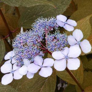 hydrangea serrata bluebird pink lacecap 300x300 - Hydrangea serrata 'BlueBird'