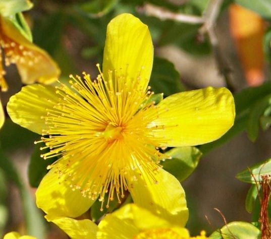 Kalm St. John's wort is a small native shrub from Eastern Canada. The rich nectar of the flowers of this small semi-evergreen shrub attracts butterflie