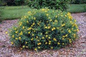 hypericum kalmianum st john s wort anxiety - Hypercicum kalmianum