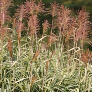 miscanthus sinensis variegatus flowers 300x300 - Miscanthus sinensis 'Variegatus'