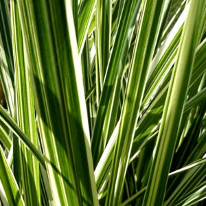 miscanthus sinensis variegatus variegated grass 300x300 - Miscanthus sinensis 'Variegatus'