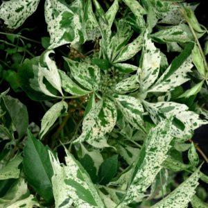 parthenocissus quinquefolia star showers variegated virginia creeper 300x300 - Parthenocissus quinquefolia 'Monham' STAR SHOWERS