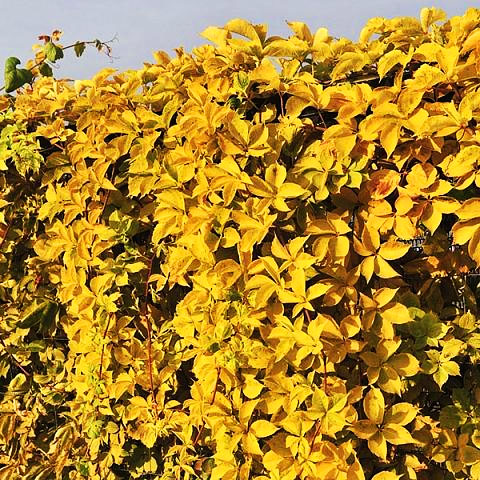 Yellow Wall Virginia Creeper with its gorgeous green leaves that turn a gorgeous fall yellow in the Autumn is the perfect match if you are looking for