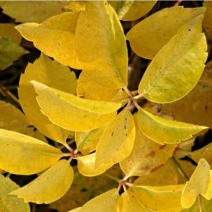 parthenocissus quinquefolia yellow wall virginia creeper 300x300 - Parthenocissus quinquefolia 'Yellow Wall'