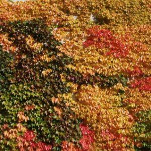 parthenocissus quiquefolia yellow wall fall color 300x300 - Parthenocissus quinquefolia 'Yellow Wall'