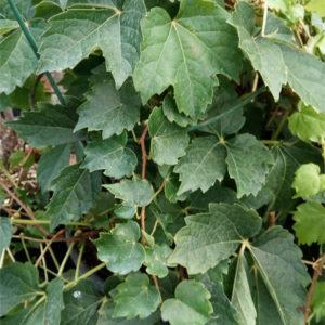parthenocissus t diamond mountains slow growing boston ivy 300x300 - Parthenocissus tricuspidata 'Diamond Mountains'