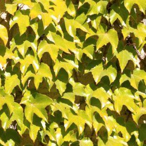 parthenocissus tricuspidata fenway park 300x300 - Parthenocissus tricuspidata 'Fenway Park'
