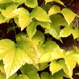 Parthenocissus tricuspidata 'Fenway Park' is a yellow-leaved Boston Ivy that turns a crimson red in the Fall. Very easy to grow in a variety of soil.