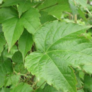 parthenocissus tricuspidata robusta giant boston ivy 300x300 - Parthenocissus tricuspidata 'Robusta'
