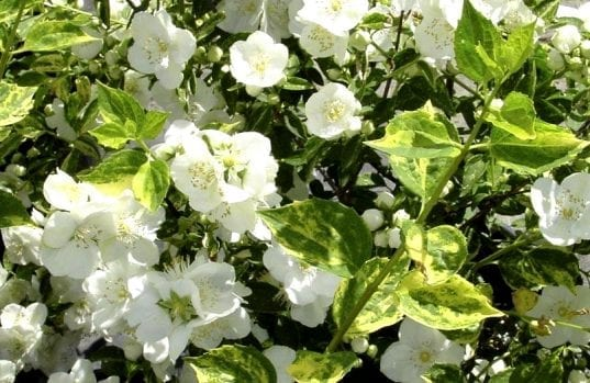 This variegated-leaved mock orange has four-petaled