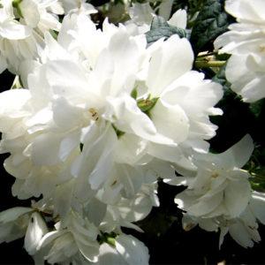 philadelphus snowbelle double white flower 300x300 - Philadelphus 'Snowbelle'