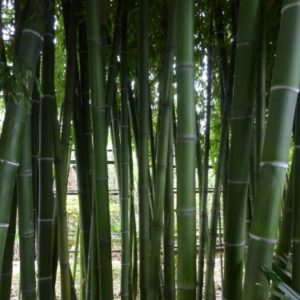 phyllostahys parvifolia green culms 300x300 - Phyllostachys parvifolia