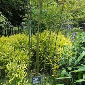 Green stripe bamboo plant (Pleioblastus viridistriatus) is known for its large