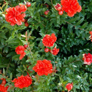This Flowering Pomegranate shrub is known especially for it's beautiful