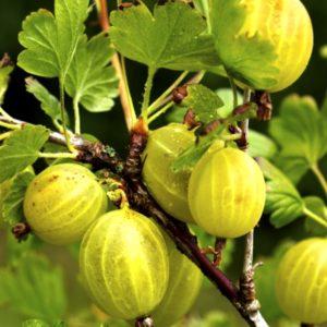 ribes uva crispa Invicta commercial gooseberry 300x300 - Ribes uva-crispa 'Invicta'