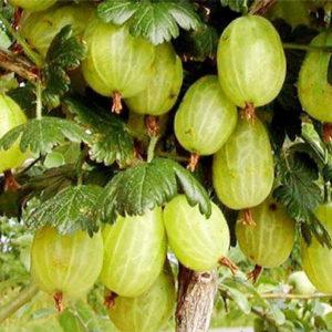 ribes uva crispa invicta green gooseberry 300x300 - Ribes uva-crispa 'Invicta'
