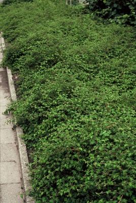 stephanandra incisa crispa border - Stephanandra incisa 'Crispa'