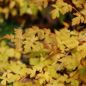 stephanandra incisa crispa fall colour 300x300 - Stephanandra incisa 'Crispa'