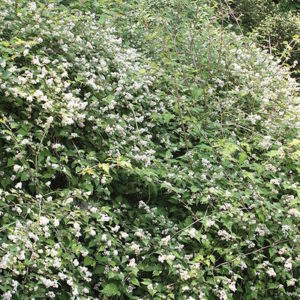 stephanandra incisa crispa in bloom 300x300 - Stephanandra incisa 'Crispa'