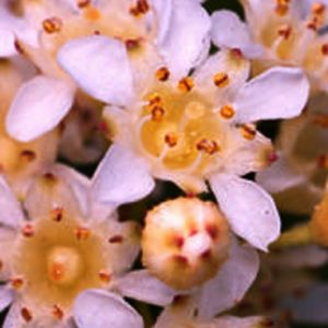 stephanandra incisa crispa lace shrub blossom 300x300 - Stephanandra incisa 'Crispa'