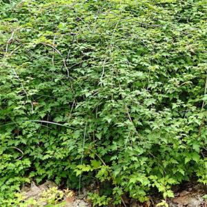 stephanandra incisa crispa laceshrub 300x300 - Stephanandra incisa 'Crispa'