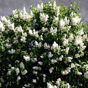 syringa vulgaris mme lemoine double flower lilac 300x300 - Syringa vulgaris 'Mme Lemoine'
