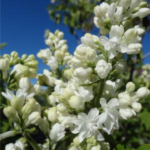 syringa vulgaris mme lemoine double white flower lilac 300x300 - Syringa vulgaris 'Mme Lemoine'