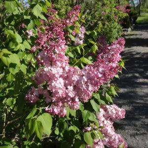 syringa x maiden blush early flowering lilac 300x300 - Syringa x hyacinthiflora 'Maiden's Blush'
