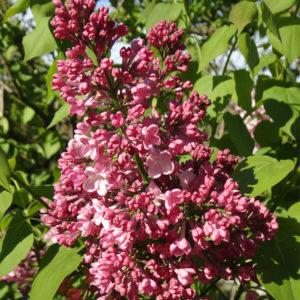 syringa x maiden blush huge lilac flower 300x300 - Syringa x hyacinthiflora 'Maiden's Blush'