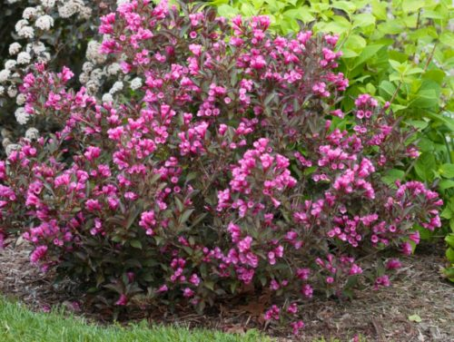Java Red purple-leaved Weigela has beautiful clusters of red-pink trumpet flowers