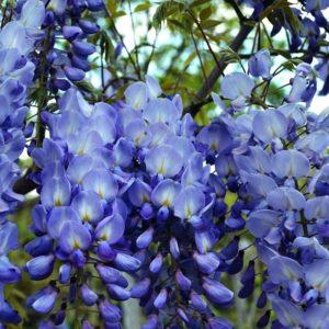 Amethyst-Falls-Wisteria-flower