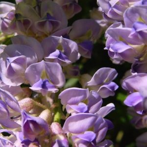 pea-like flowers of Aunt Dee Wisteria