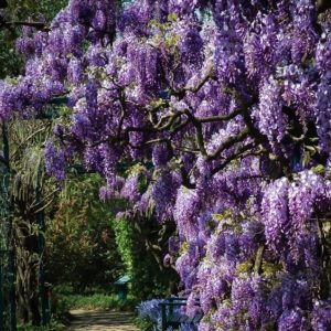 Gorgeous cascading flowers of Wisteria Aunt Dee