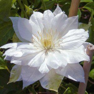 Duchess of Edinburgh Clematis in bloom