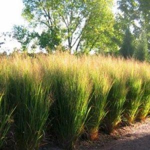 Northwind switch grass hedge