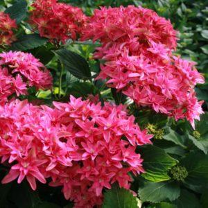 8053c hortensia macrophylla you me princess diana boos t1000 300x300 - Hydrangea macrophylla x paniculata 'Princess Diana' WOWTime® ('H21-3')