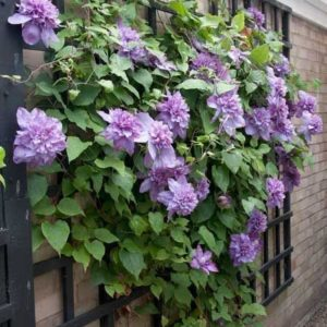 Opulent Clematis Vyvyan Pennell
