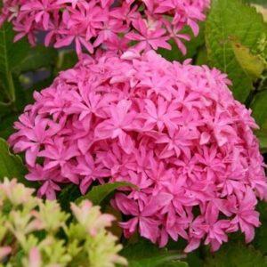 Inspire-Hydrangea-bloom