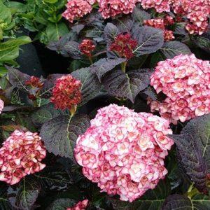 Hydrangea Miss Saori plant 300x300 - Hydrangea macrophylla 'H20-02' Miss Saori™